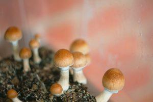 mushrooms psilocybin aka penis envy